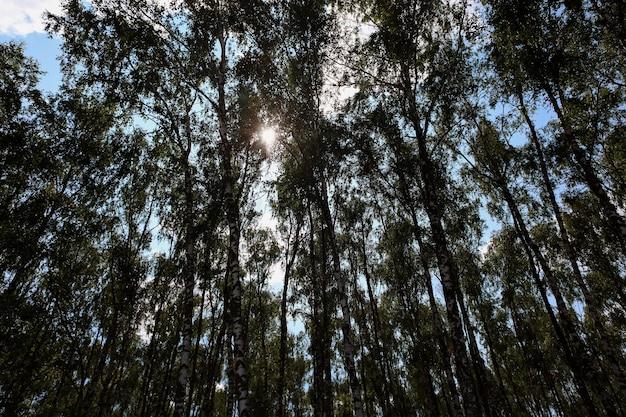 白樺の木の枝を通る白樺の木立のボトムアップビュー太陽光線が通り抜ける