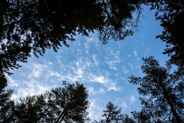 Bottom view of clear sky through crones of conifer trees