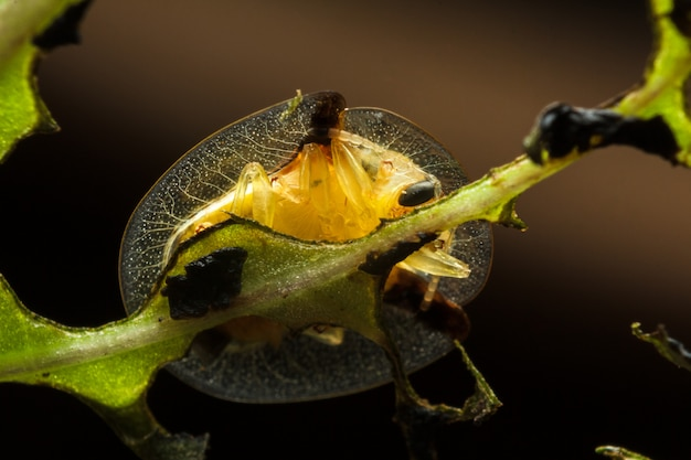 Bottom view of golden tortoise beetle on green leaf