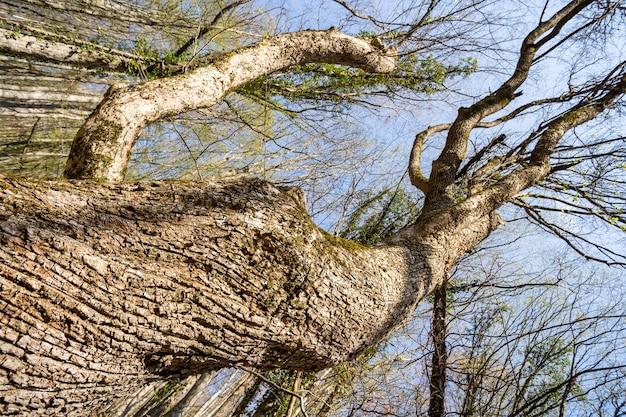 Вид снизу на дерево без листьев маленькие зеленые листочки недавно начали распускаться извилистой ц ...