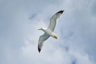 Bottom view of gull flying high