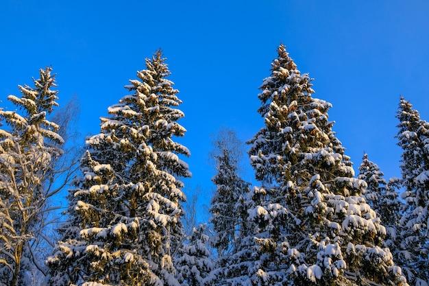 青い空を背景に雪の中のトウヒの木の底面図。
