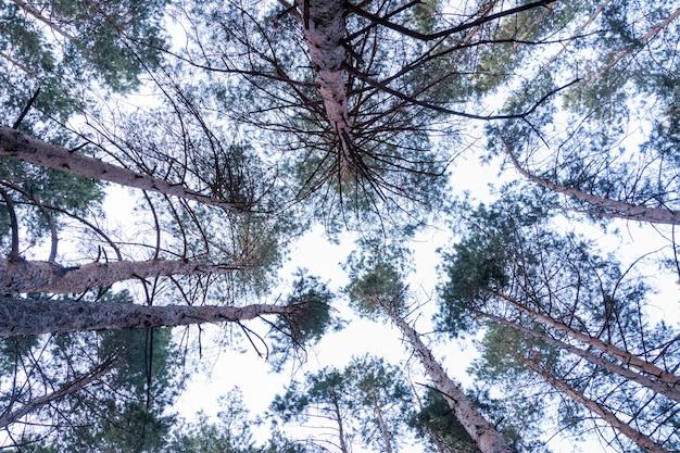 どんよりした日の松林の背の高い緑の松の底面図。バックグラウンドでどんよりした空。
