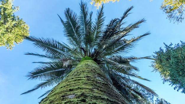 Вид снизу на пальму, дендрарий в сухуме, абхазия.