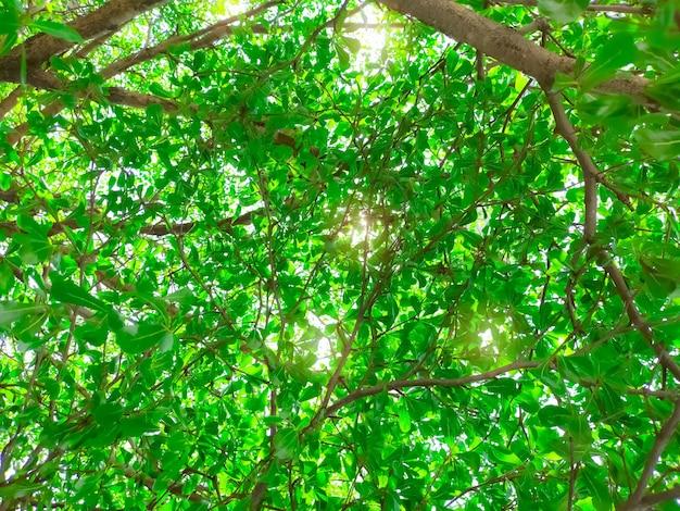 Вид снизу дерева и зеленых листьев в тропическом лесу с солнечным светом. свежая среда в парке. зеленые растения дают кислород в летнем саду. лесное дерево с небольшими листьями в солнечный день. перейти к зеленой концепции