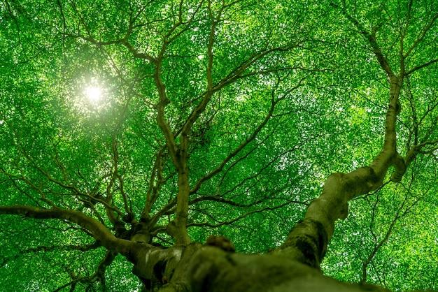 日光と熱帯林の大きな木の緑の葉への木の幹の底面図。公園の新鮮な環境。緑の植物は夏の庭で酸素を与えます。晴れた日に小さな葉を持つ森の木。 Premium写真