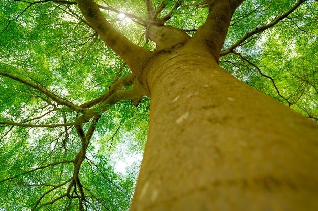 Вид снизу ствола дерева на зеленые листья большого дерева в тропическом лесу с солнечным светом.
