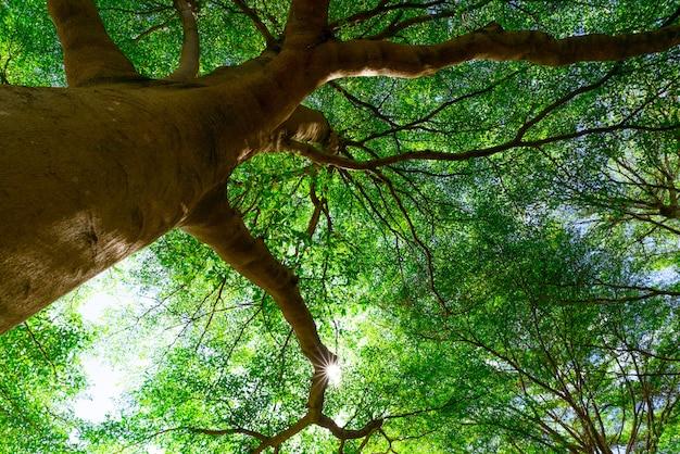 日光と熱帯林の大きな木の緑の葉への木の幹の底面図。
