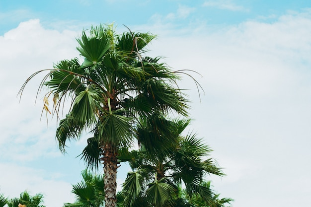 Bottom view palms against the blue sky