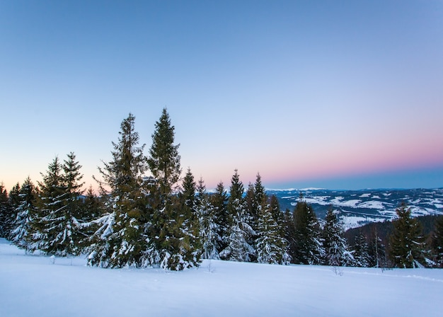 Bottom view tall beautiful majestic spruce trees covered with snow stand in a forest against a foggy blue sky overcast winter frosty day. winter nature beauty concept