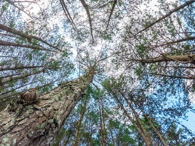 Bottom view of tall pine trees in evergreen forest of thailand.