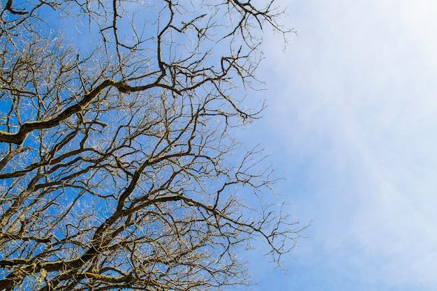 Вид снизу. верхушка любого дерева без листьев на фоне голубого неба в солнечный день.