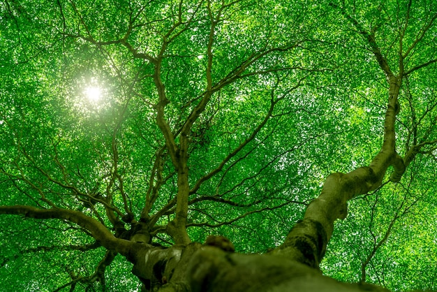 Bottom view of tree trunk to green leaves of big tree in tropical forest with sunlight. fresh environment in park. green plant give oxygen in summer garden. forest tree with small leaves on sunny day.