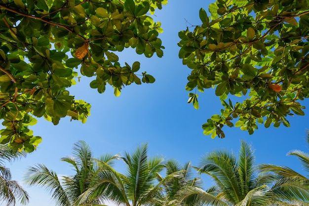 Bottom view to tropical palm trees leaf and sky natural exotic photo frame leaves on the branches of coconut palm trees against the blue sky in sunny summer day.