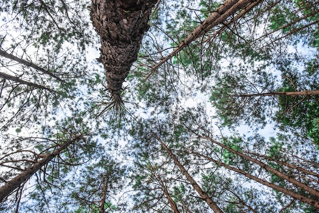 Bottom view of wild pine trees.