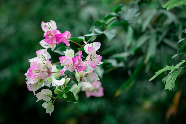 Bougainvillea blooming pink on the tree