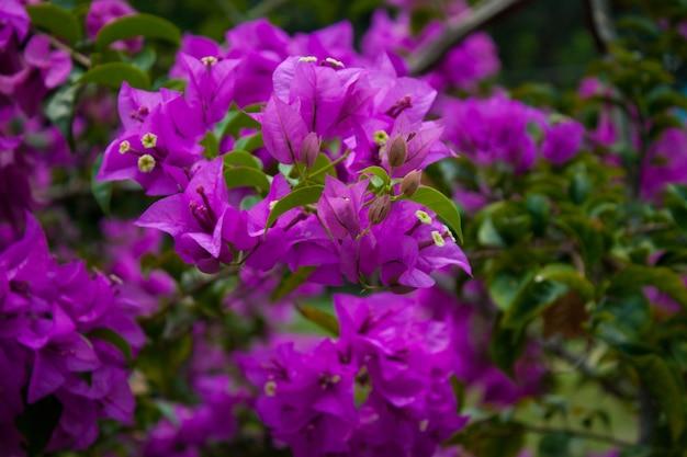 Bougainvillea bush with purple flowers in thailand