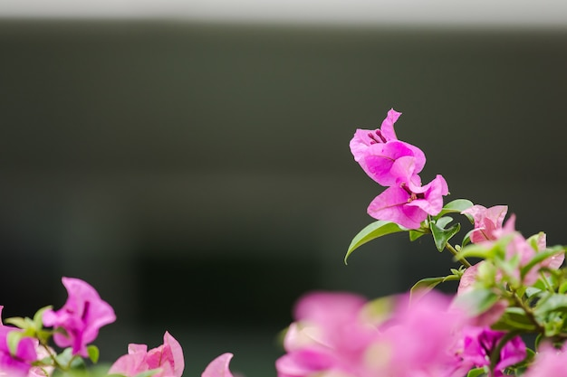 Bougainvillea classified as ornamental flowers that are commonly grown in houses