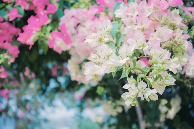 Bougainvillea on fence with beautiful.