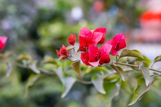 정원 내부 지점에 잎이있는 부겐빌레아 꽃 봉오리