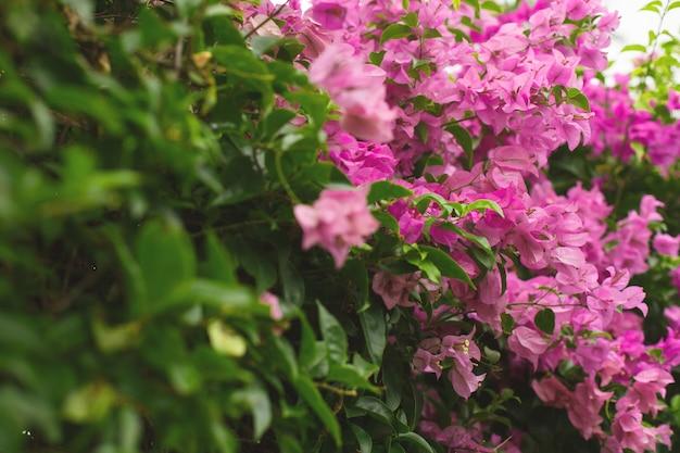 ブーゲンビリアの花のクローズアップ。開花低木ブーゲンビリアの花