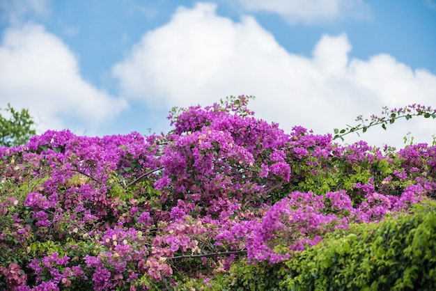 Bougainvillea flower with green leaves