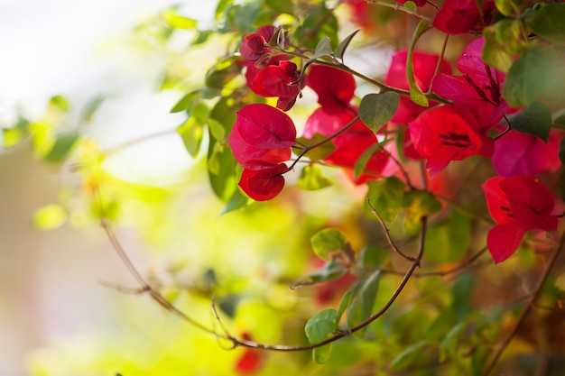 ブーゲンビリアグラブラ植物