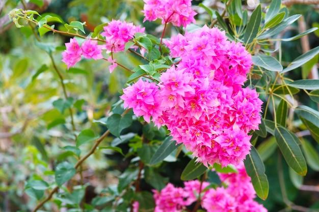 庭に咲くブーゲンビリアマゼンタ色