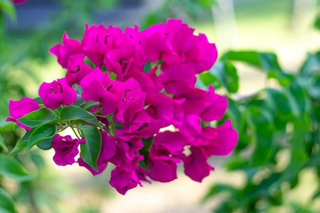 ブーゲンビリア屋外。顕花植物。観賞用のつる、茂みのクローズアップ。夏の庭の鮮やかなピンクの花。自然の壁紙、花の背景、緑の葉。