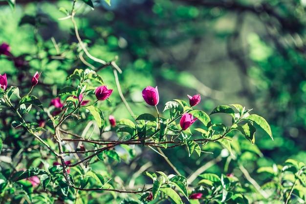 天然のブーゲンビリア植物
