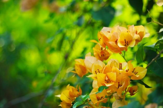 Бугенвиллия желтого цвета, белая пыльца цветет в саду в дождливую