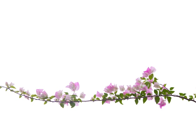 Bougainvilleas branch isolated on white