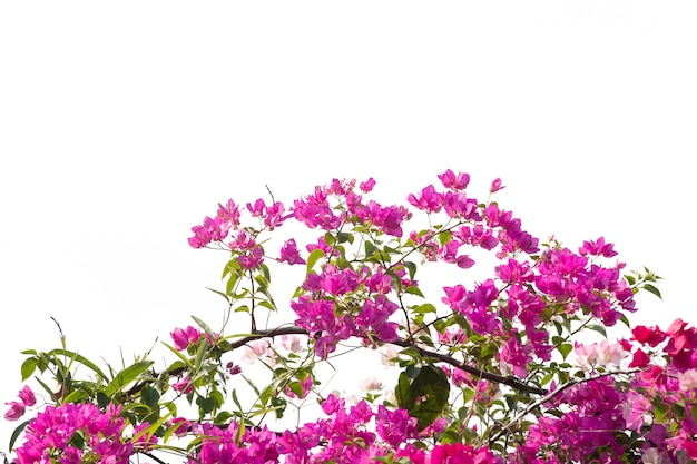 Bougainvilleas branch isolated on white.