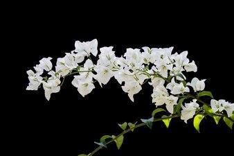 ブーゲンビリアは黒い背景で隔離されています。紙の花。