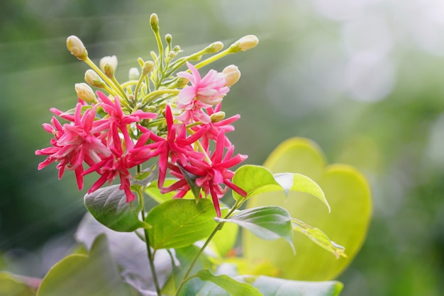 Bouquet of beautiful soft pink, red and white rangoon creeper