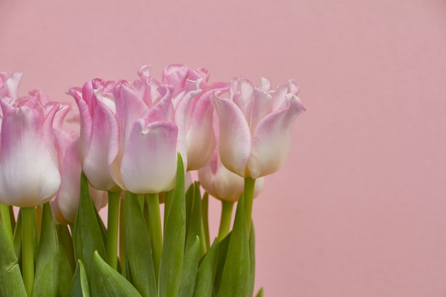 Bouquet of blooming pink tulips on a pink ,