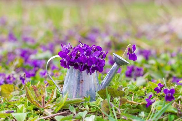 Bouquet of fragrant forest violets in a watering can on a green meadow on a spring morning, close-up