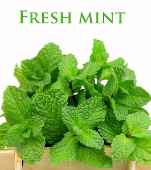 Bouquet of fragrant mint on a white background