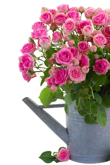 Bouquet  of fresh pink roses in watering can close up  isolated on white space
