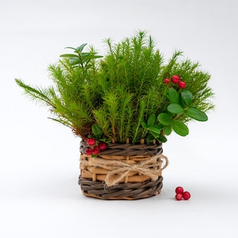 Bouquet of green moss with leaves and berries of lingonberry in a wicker basket