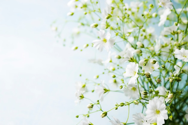 Bouquet of gypsophila on a light blue