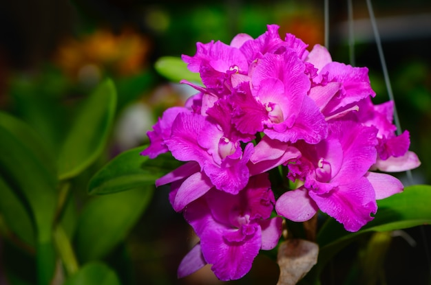Bouquet of hybrid pink cattleya orchid