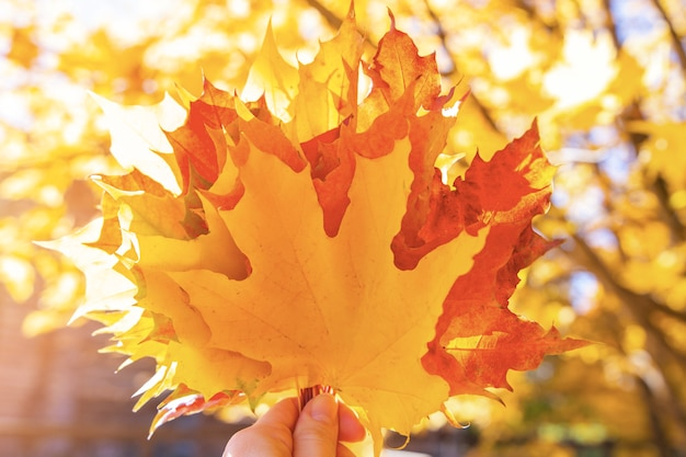 Bouquet of multicolor autumn maple leaves in hand in forest Premium Photo