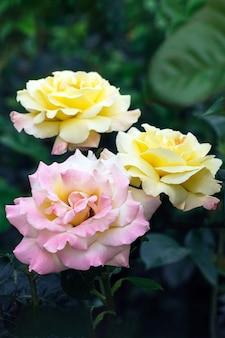 Букет красивых розовых и желтых цветов роз