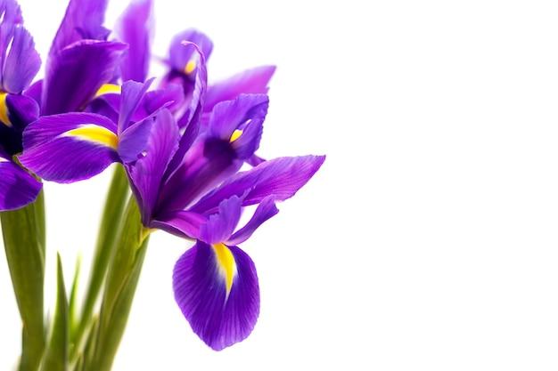 흰색 배경에 고립 된 아름 다운 보라색 창포의 꽃다발