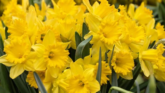 明るい黄色の水仙の花の花束
