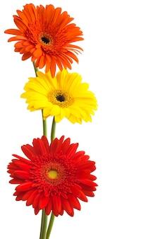 Букет цветов герберы, изолированные на белом фоне