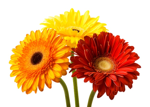Букет цветов гербер на белом фоне