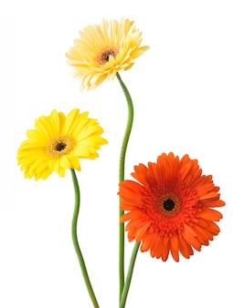 흰색 절연 꽃 gerberas의 꽃다발