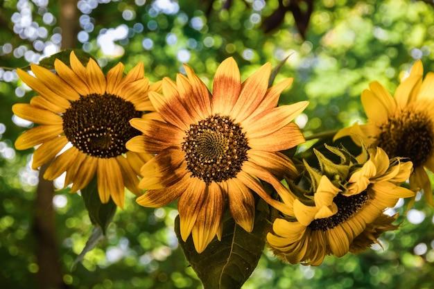 Букет цветов подсолнух в вазе на фоне зеленых листьев дерева в солнечный полдень
